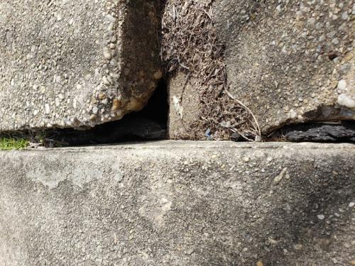 Xterminator Services job rodent will nest under broken or gaps in concrete in need of repair 2